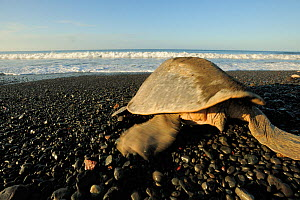 Rear view of a mature female Olive ridley sea turtle (Lepidochelys olivacea), females have a short tail, as seen here. Ostional beach, Costa Rica, November ^^^ Males have a muscular, long tail clearly...  -  Solvin Zankl