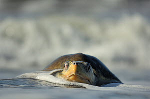 The arrival of one Olive ridley sea turtle (Lepidochelys olivacea) at the beach of Ostional, Costa Rica, Pacific coast, can be the beginning of an arribada (mass nesting event) of the sea turtles. Tho...  -  Solvin Zankl