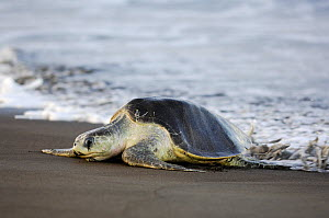 Mature female Olive ridley sea turtle (Lepidochelys olivacea) arrives at the beach of Ostional, Costa Rica, Pacific coast,  November, at the beginning of the arribada (mass nesting event) of the sea t...  -  Solvin Zankl