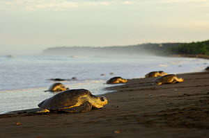 Mature female Olive ridley sea turtles (Lepidochelys olivacea) arrive at the beach of Ostional, Costa Rica, Pacific coast,  November, at the beginning of the arribada (mass nesting event) of the sea t...  -  Solvin Zankl