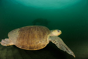 Female Olive ridley sea turtle (Lepidochelys olivacea) swimming from the open ocean towards the beach of Ostional, Costa Rica, Pacific Ocean to lay its eggs in the warm sand, November  -  Solvin Zankl