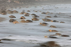 The arrival of many Olive ridley sea turtles (Lepidochelys olivacea) at the beach of Ostional, Costa Rica, Pacific coast, at the beginning of an arribada (mass nesting event) November ^^^ Thousands an...  -  Solvin Zankl