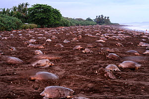 Many Olive ridley sea turtles (Lepidochelys olivacea) digging their nests on the beach of Ostional, Costa Rica, Pacific coast, during an arribada / mass nesting event. November ^^^ Thousands and thous...  -  Solvin Zankl