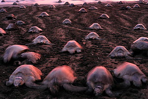 Many Olive ridley sea turtles (Lepidochelys olivacea) digging their nests on the beach of Ostional, Costa Rica, Pacific coast, during an arribada (mass nesting event) November.  -  Solvin Zankl