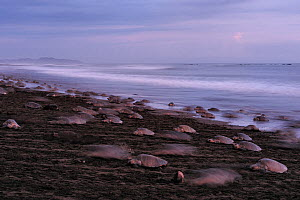 Mature female Olive ridley sea turtles (Lepidochelys olivacea) arriving on the beach of Ostional, Costa Rica, Pacific coast, during an arribada (mass nesting event) November.  -  Solvin Zankl