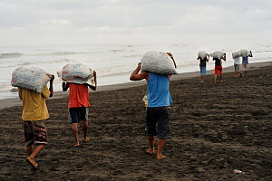 The community of Ostional on the Pacific coast of Costa Rica, runs a project of sustainable use of eggs of the Olive ridley sea turtle (Lepidochelys olivacea). The eggs, a popular snack in Costa Rica,...  -  Solvin Zankl