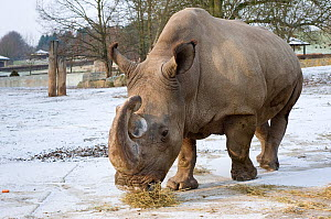 Northern white rhinoceros (Ceratotherium simum cottoni) feeding in enclosure at Dvur Kralove Zoo, Czech Republic, the day before departure - Dec 2009. Extinct in the wild and only eight left in captiv... - Mark Carwardine