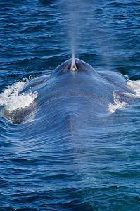 Blue whale (Balaenoptera musculus) surfacing and blowing, Endangered species, Sea of Cortez, Baja California, Mexico  -  Mark Carwardine
