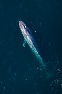Aerial view of Blue whale (Balaenoptera musculus) at surface, Endangered species, Sea of Cortez, Baja California, Mexico - Mark Carwardine