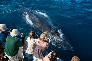 Humpback whale (Megaptera novaeangliae) close to boat, watched and photographed by whale watchers, Sea of Cortez, Baja California, Mexico  -  Mark Carwardine
