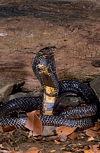 Monocled cobra (Naja kaouthia) with hood spread, captive, from  grasslands of southeast Asia  -  Mark Carwardine