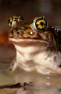 Couch's spadefoot toad (Scaphiopus couchii) captive, from North America  -  Mark Carwardine