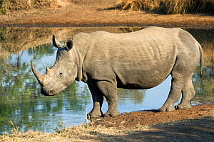 Southern white rhinoceros (Ceratotherium simum simum) beside water, Endangered species, Mkhaya Game Reserve, Swaziland - Mark Carwardine