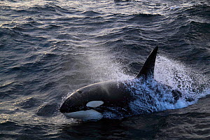 Killer whale (Orcinus orca) breaking surface. North Sea.  -  Philip Stephen
