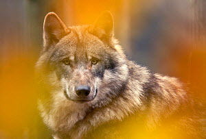 Grey wolf (Canis lupus) head portrait, viewed through autumn colours, captive. - Edwin Giesbers