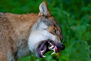 RF- Grey wolf (Canis lupus) snarling with teeth bared, captive. (This image may be licensed either as rights managed or royalty free.)  -  Edwin  Giesbers