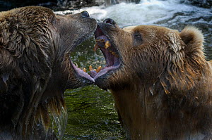 Two Kodiak / Alaskan brown bears (Ursus arctos middendorffi) close up, fighting, captive. - Edwin Giesbers