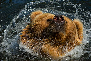 Kodiak / Alaskan brown bear (Ursus arctos middendorffi) swimming in water, shaking its head, captive. - Edwin Giesbers