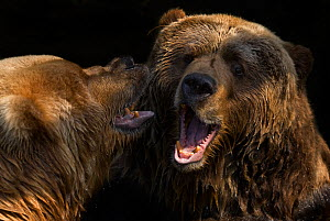 RF- Two Kodiak / Alaskan brown bears (Ursus arctos middendorffi) fighting, captive. (This image may be licensed either as rights managed or royalty free.) - Edwin  Giesbers