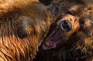 Two Kodiak / Alaskan brown bears (Ursus arctos middendorffi) fighting, captive. - Edwin Giesbers
