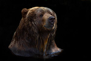 Two Kodiak / Alaskan brown bears (Ursus arctos middendorffi) head portrait swimming, with head above the surface of the water, captive. - Edwin Giesbers