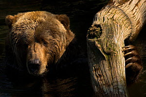Two Kodiak / Alaskan brown bears (Ursus arctos middendorffi) head portrait in water, with paw resting against tree limb, captive. - Edwin Giesbers