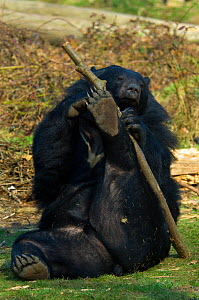 Asiatic black / Moon bear (Ursus thibetanus) sitting on grass, and holding large tree branch, with hind foot raised against it, captive; Isselburg zoo; Germany.  -  Edwin Giesbers