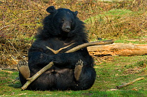 Asiatic black / Moon bear (Ursus thibetanus) sitting on grass, holding large tree branch, captive; Isselburg zoo; Germany.  -  Edwin Giesbers