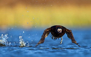 Long-tailed duck (Clangula hyemalis) male in summer plumage, taking off from river, Iceland, May - STEVE KNELL