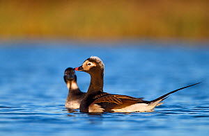 Pair of Long-tailed ducks (Clangula hyemalis) in summer plumage, on water. Iceland. May 2010  -  Steve Knell