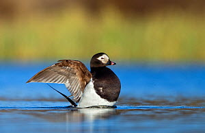 Long-tailed duck ( Clangula hyemalis ) mae in summer plumage flapping wings, on water. Iceland, May 2010  -  Steve Knell