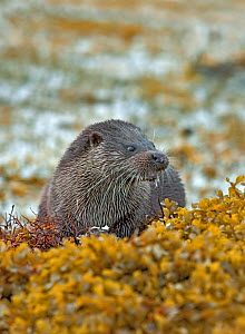 Otter (Lutra lutra) male on seaweed covered coastline, eating fish, Mull, Scotland. October  -  Steve Knell