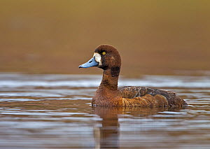 Greater Scaup (Aythya marila) female on freshwater pond. Iceland, May  -  Steve Knell