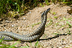 Two male Adders (Vipera berus) fighting / dancing during mating season, Captive, UK  -  Andy Sands