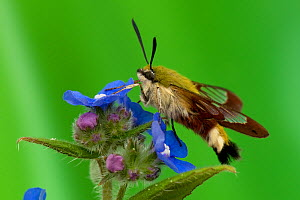 Broad-bordered Bee Hawkmoth (Hemaris fuciformis) in profile, UK, Captive - Andy Sands