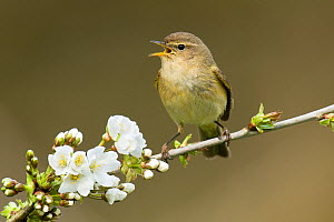 Chiffchaff (Phylloscopus collybita) singing, perched on branch of Cherry (Prunus sp.) blossom, Hertfordshire, England, UK, March - Andy Sands