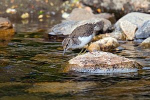 Common Sandpiper (Actitis hypoleucos) chick on exposed stone at edge of water, foraging for food, Upper Teesdale, Co Durham, England, UK, June  -  Andy Sands