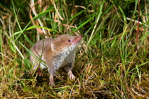 Common Shrew (Sorex araneus) sniffing the air, Captive, UK  -  Andy Sands