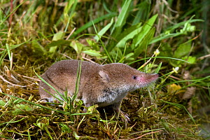 Common Shrew (Sorex araneus) in grassland, Captive, UK  -  Andy Sands