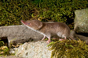Common Shrew (Sorex araneus) among mossy stones, Captive, UK  -  Andy Sands
