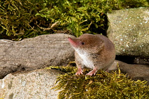 Common Shrew (Sorex araneus) sitting among mossy stones, Captive, UK  -  Andy Sands