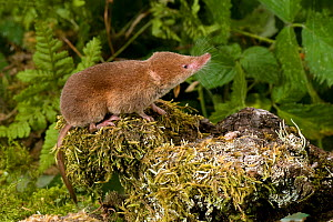 Common Shrew (Sorex araneus) in woodland habitat, UK, Captive - Andy Sands