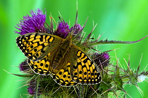 Dark Green Fritillary butterfly (Argynnis aglaja) at rest on Thistle flower, with wings open, UK, Captive  -  Andy Sands