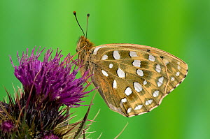 Dark Green Fritillary butterfly (Argynnis aglaja) at rest on Thistle flower, with wings closed, UK, Captive  -  Andy Sands