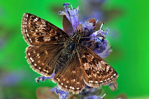 Dingy Skipper butterfly (Erynnis tages) feeding on Bugle flower, with wings open, Captive, UK  -  Andy Sands