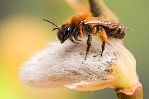 Mining Bee (Andrena clarkella) on Sallow catkin, Hertfordshire, England, UK, March - Andy Sands