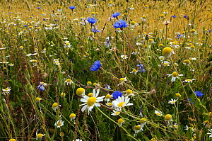 Corn chamomile (Anthemis arvensis) and Cornflowers (Centaurea cyanus) in flower at edge of cornfield, Bedfordshire, England, UK, May - Andy Sands