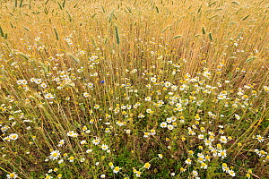 Corn chamomile (Anthemis arvensis) and Cornflowers (Centaurea cyanus) in flower at edge of corn field, Bedfordshire, England, UK, May - Andy Sands
