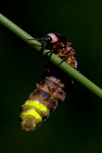 Glow worm (Lampyris noctiluca) climbing on stem of grass, with tail emitting bioluminescence, England, UK, July - Andy Sands