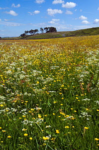 Upland hay meadow with Cow Parlsey (Anthriscus sylvestris) and Buttercups (Ranunculus) Upper Teesdale, Co. Durham, UK, June - Andy Sands